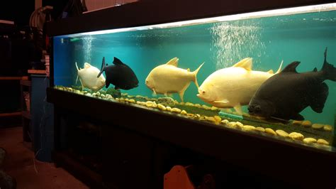 200 gallon water tank 200 gallon pacu tank hawaiian style monsterfishkeepers com