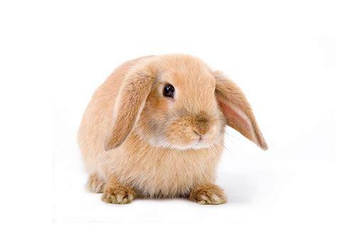 mini lop rabbits   sale  kellyville pets