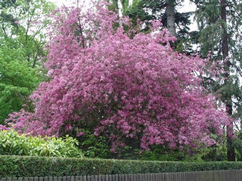 rosa blühender strauch rosa bl 252 hender strauch gt malus cultivar baumkunde forum