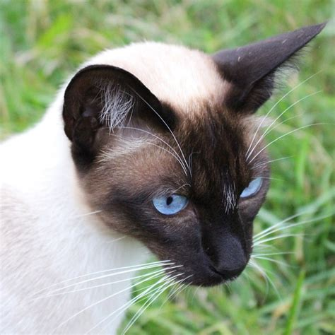 ears cat cats siamese normal animal body kitty temperature catster kittens result kitties supposed pixabay coolest among via still parts