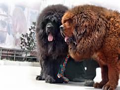 Rottweiler Vs Lion Tib...