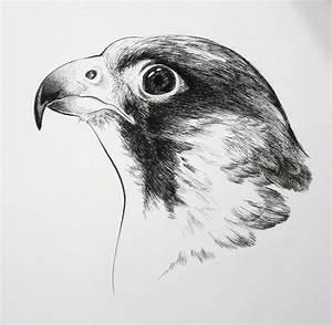 Drawn falcon - Pencil and in color drawn falcon