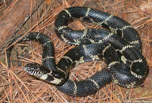 Eastern King Snakes NC