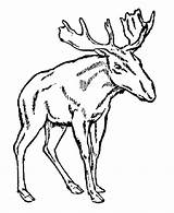 Moose Coloring Pages Cartoon Popular Colouring sketch template