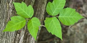 A Fungus May Soon Save You From The Poison Ivy Itch