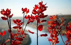 Baum Mit Roten Blättern : zweige von einem busch mit roten bl ttern stockfoto colourbox ~ Eleganceandgraceweddings.com Haus und Dekorationen