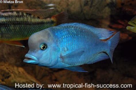 blue dolphin cichlid tropical fish success