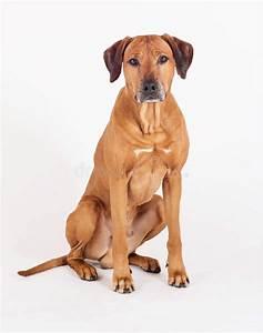 Beautiful Rhodesian Ridgeback Male Dog Stock Photo - Image ...