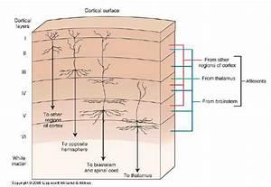 Cerebral Cortex Layer Diagram
