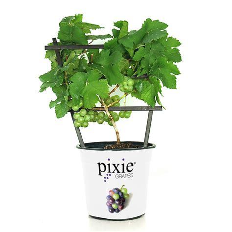 pixie riesling grape grape vines stark bros