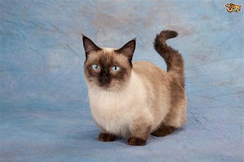 Munchkin Cat  History, Characteristics And Temperament