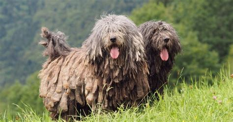 unique  exotic dog breeds   thought existed