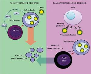 Immune System Diagram Cells