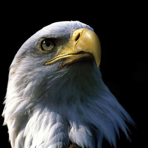 eagle ipad retina wallpaper  iphone