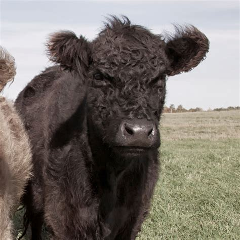 buy galloway beef  grass fed heritage meat