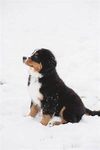 Puppy Love: Sullivan the Bernese Mountain Dog - Daily Dog Tag