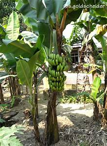 bananen seite wie wachsen bananen With feuerstelle garten mit banane zimmerpflanze früchte