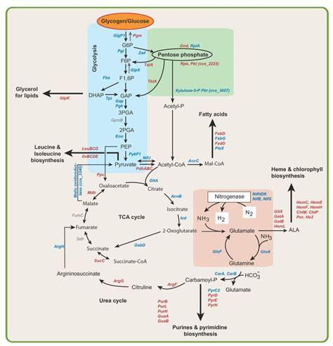 metabolic pathways summary google search metabolic