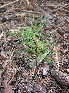 tree pine sapling 09