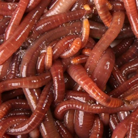 wigglers wiggler cup count worms