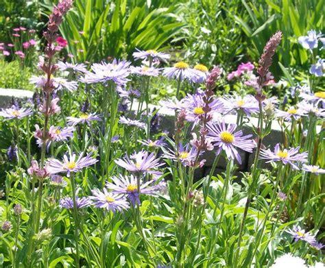 fall perennial flowers fall perennials asters garden pinterest