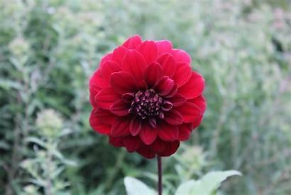Zinnia Flower Cc0 Elegant