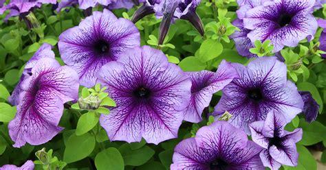 pictures of petunia petunia aspca