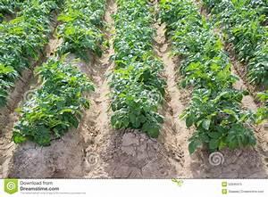Période Pour Planter Les Pommes De Terre : que planter a cote des pommes de terre ~ Melissatoandfro.com Idées de Décoration