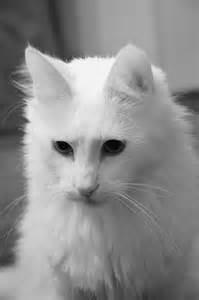 white cat breeds white cat breed poc