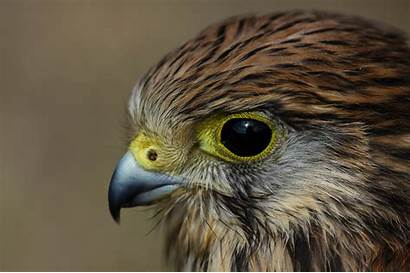 Bird Hawk Wallpapers Resolution Desktop Backgrounds Pc