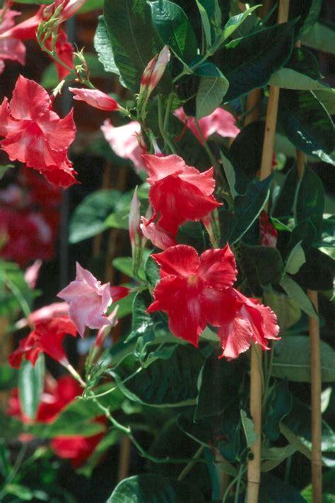 flowering vine tropical flowering vines provide color until frost mississippi state university extension service