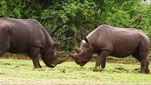Rare Black Rhino's Bloody Fight. Best Footage EVER ...