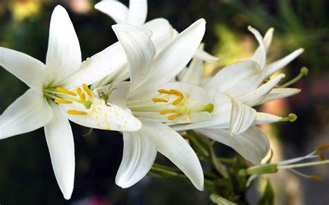 lilies care lilies plants care typesofflower com typesofflower com