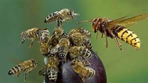 Was Tun Gegen Wespen : was tun bei einem hornissenstich gefahren und behandlung ~ Whattoseeinmadrid.com Haus und Dekorationen