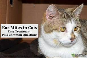 how to treat ear mites in cats ear mites in cats symptoms and treatment breeds picture