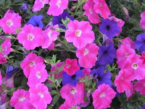 images petunias petunias pink purple free stock photo public domain pictures