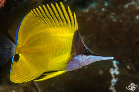 yellow long nose butterflyfish facts  photographs