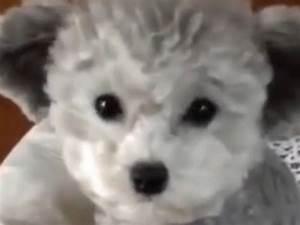 Wie Sieht Ein Hummelnest Aus : teddy bear puppy kleiner welpe sieht aus wie ein teddy ~ Yasmunasinghe.com Haus und Dekorationen