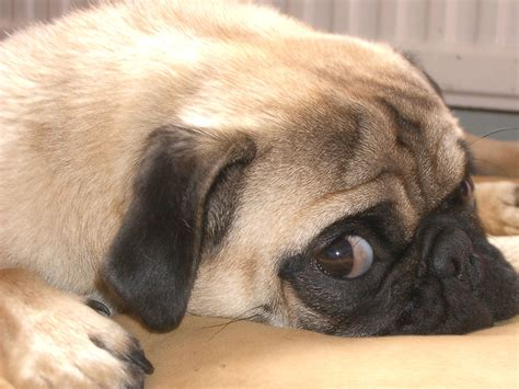 Pug Dog   HD Wallpapers (High Definition)   Free Background