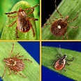 Ticks — and the diseases they carry — are spreading – The ...