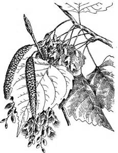Cottonwood Leaf Coloring Pages