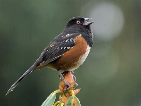 all about birds spotted towhee