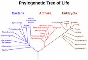 A phylogenetic tree based on rRNA data, showing the