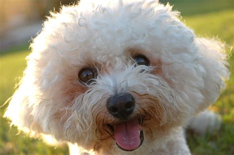 How Much Does A Bichon Frise Cost Howmuchisit Org