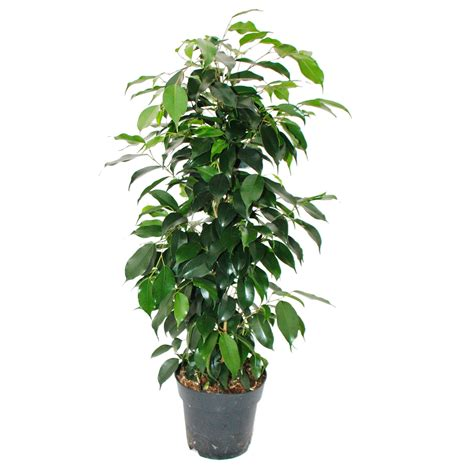 ficus benjamini 3er set twighlight