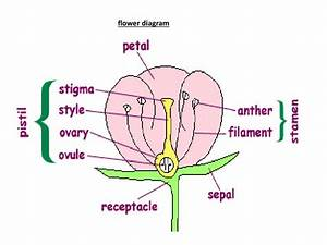 Flower Parts And Functions Ppt