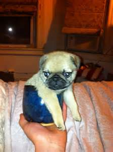 Adorable Cute Baby Pugs