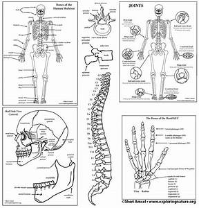Skeletal System Diagram Bundle  High School  U0026 College