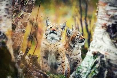 Animals Lynx Mammals Feline Backgrounds Wallpapers Desktop
