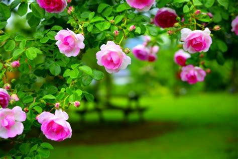 pretty roses flowers nature background wallpapers  desktop nexus image